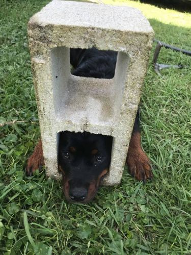 Firefighters Save The Life Of A Rottweiler Puppy Whose Head Got Stuck In A Cinderblock