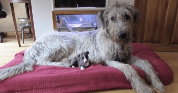 Are Irish Wolfhounds Cuddly Horses In Disguise?