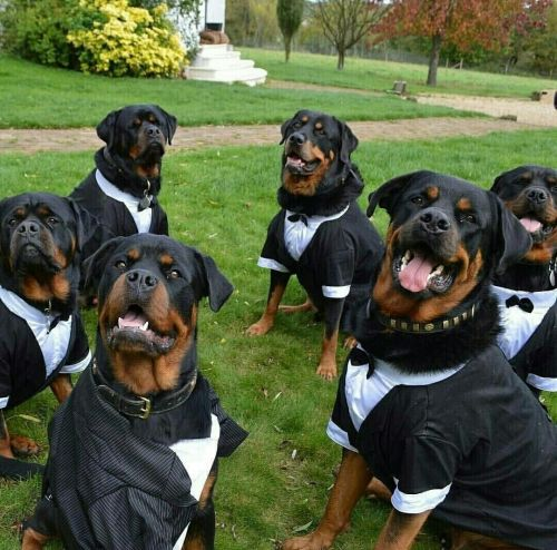 10 Reason Rottweiler Are Underrated, It is Time They Get Some More Love