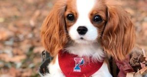 This Tiny Adult King Charles Is Stealing The Hearts Of Dog Lovers Everywhere