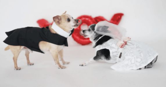 Rescued Senior Chihuahuas Get Married Following Their Retirement