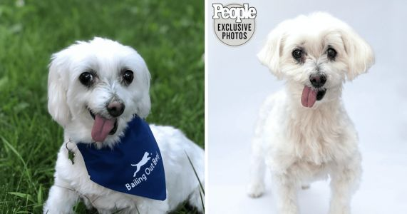 Lamb Chop The Puppy Mill Survivor Is Now The World's Cutest Rescue Dog
