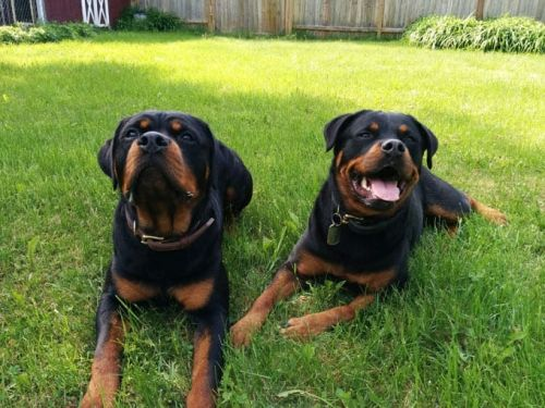 16 Signs You're An Overprotective Rottweiler Parent