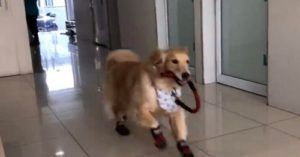 Golden Retriever Can't Wait To Go To His Favorite Place - The Vet. No Really