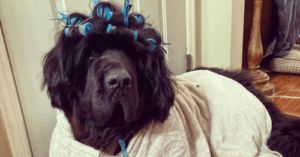Hank The Newfie Rocks A Unique Hairstyle Daily