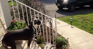 Dog Eagerly Awaits The Arrival Of Her Human's School Bus