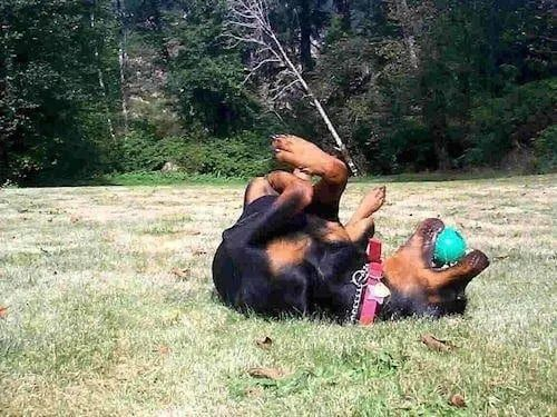 12 Reasons to Choose a Rottweiler