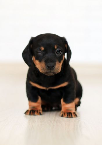 Good Rottweiler Signs: Err On The Side Of Caution Before Bring Home Your Puppy