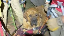 Floyd, A 190-Pound Dog, Rescued From Hike After Getting Too Tired