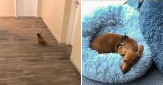 Adorable Doxie Just Wants To Be Home In Bed