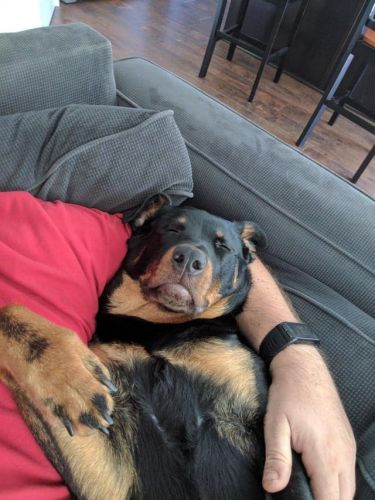 15+ Rottweilers Sleeping In Weird Positions