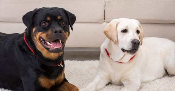 Rottweiler versus Labrador: What Makes These Breeds So Popular
