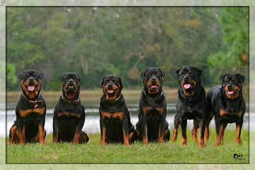 Important Steps You Need To Take To Keep Your Rottweiler Dog Healthy