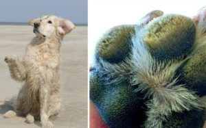 "Why You Should Be Concerned About Your Dog's Extra ""Hairy"" Paws"