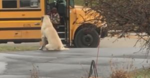 English Mastiff Protects Sister At The Bus Stop Every Morning