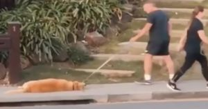 Golden Retriever Gives Dad Trouble When It's Time To Walk