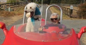 Ringo's Last Ride: Poodle Follows Miss Norma's Footsteps with End of Life Road Trip
