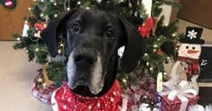 You Whisked This Great Dane Out Of A Kill-Shelter And Into A Happy Home