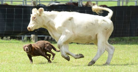 Cattle Dog Championship Goes On Despite Series Of Disasters
