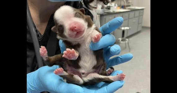 Puppy With 6 Legs And Extra Organs Is Thriving Despite All Odds