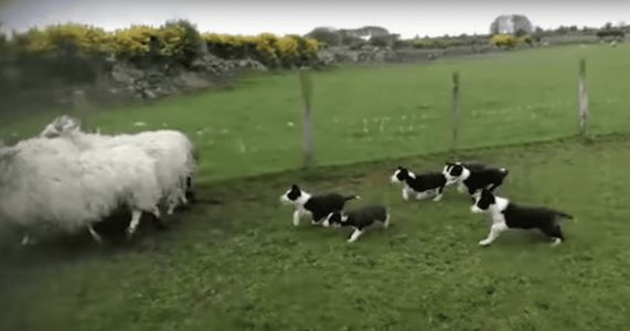 Adorable Herding Puppies Become Stars On Their First Day Of Work