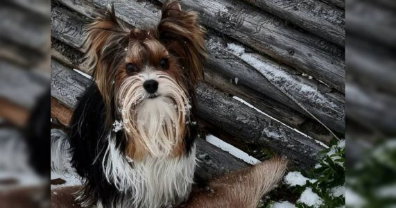Introducing The Biewer Terrier: The 197th AKC-Recognized Breed