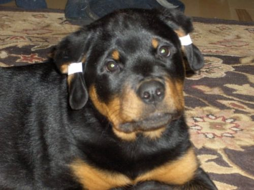The Rottweiler's Ears: Taking Proper Care And Ensuring The Right Looks