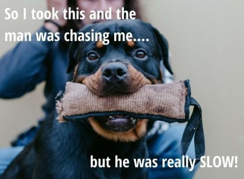 Top 10 Hilarious Rottweiler Memes From The Internet!