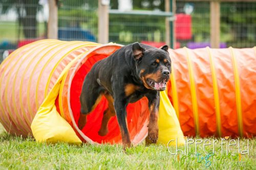 Obstacle Training Course For Your Rottweiler: Put Together An Exciting, Stimulating, And Inexpensive Routine