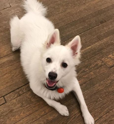 American Eskimo Dog Breed Information Guide: Quirks, Pictures, Personality & Facts