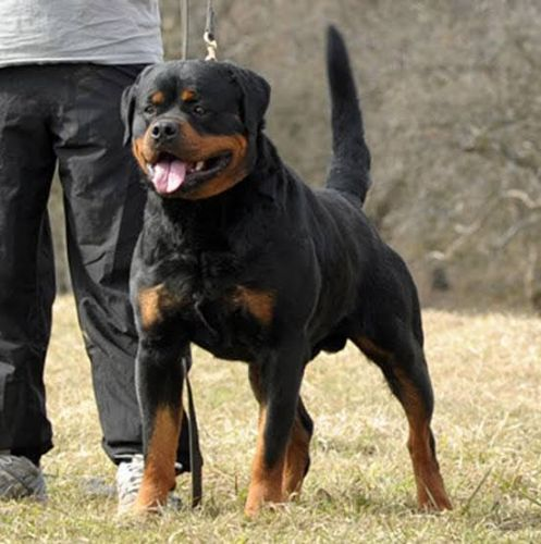 The German Rottweiler: A Product Of Tough Breeding Standards That Sets It Apart From The Rest