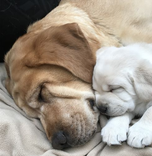 Spa Guests Help Train Service Puppies