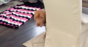 Guilty-Looking Pit Bull Makes Mess Of House In Adorably Hilarious Video