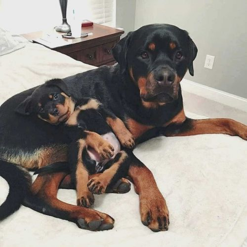 What Are The Steps You Need To Follow For Rottweiler Adoption?