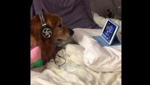 Dog Who's Scared Of Fireworks Wears Headphones & Watches Videos On iPad To Relax