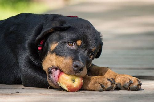 The Best Rottweiler Dog Food That Comes In Cheap