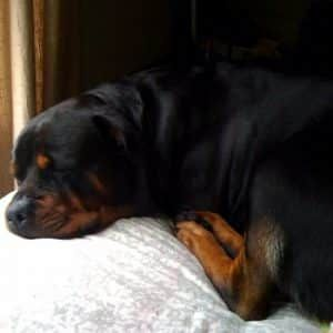 Women Sleep Better With a Rottweiler By Their Side