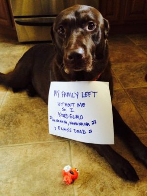 The Sesame Street Killer Our Chocolate Lab, Abby. She has the