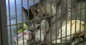 You Won't Believe the Reason for the Increase in Huskies at Animal Shelters