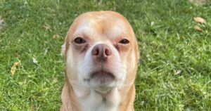 """Rescuer's Post Describes Adoptable Chihuahua As A """"Chucky Doll In A Dog's Body"""""""