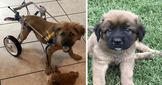 Conley The Puppy Can't Walk, But He Wants To Steal Your Heart