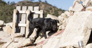 Homeless Labrador Becomes Superstar Search And Rescue Dog
