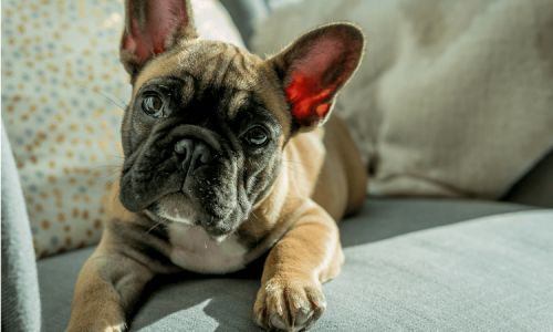 Boston Terrier Vs French Bulldog - What's The Difference?