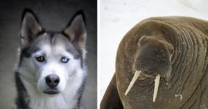 New Dog Breed Sparks Debate: Does The World Need A Walrus Dog?
