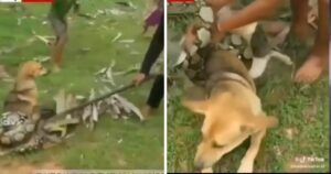 Brave Young Boys Rescue Their Family Dog From The Grips Of A Boa Constrictor