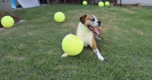 Man Surprises Dog Cancer Survivor With 100 Giant Tennis Balls