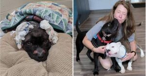 Pittie Found In Ditch Missing Ears Thanks The Rescuers Who Saved His Life