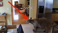 2 Fearless Little Terriers Chase Trespassing Bear Out Of Their House