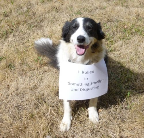 Tim the border collie rolls