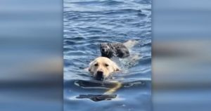 Water-Loving Golden Gives His New Woodchuck Pal A Ride To Shore